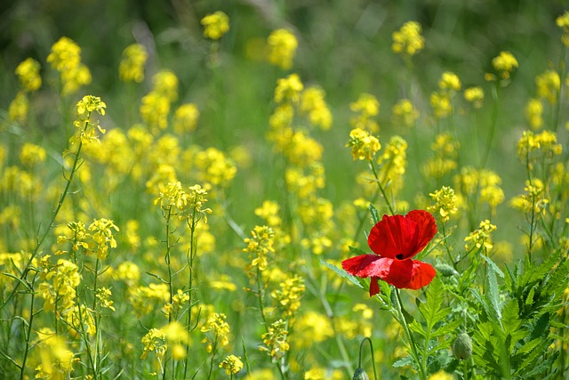 Poppy, Only, Isolated Form, Ile, Red, Yellow, Rapeseed