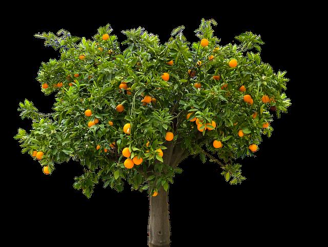 Nature, Tree, Orange, Orange Tree, Isolated, Fruit