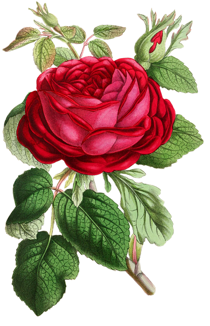 Rose, Flower, Flowers, Red, Green, Isolated, Vintage