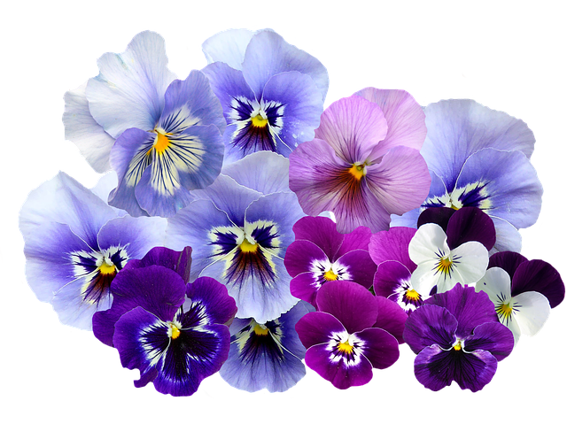 Pansy, Isolated, Violet, Nature, Flowers, Violaceae