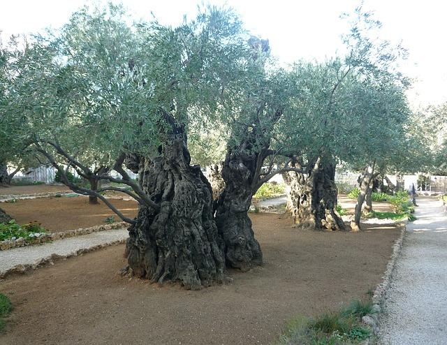 Olive Trees, Jerusalem, Israel