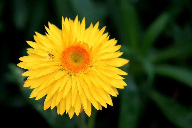 Italicum, Composites, Yellow, Blossom, Bloom, Flower