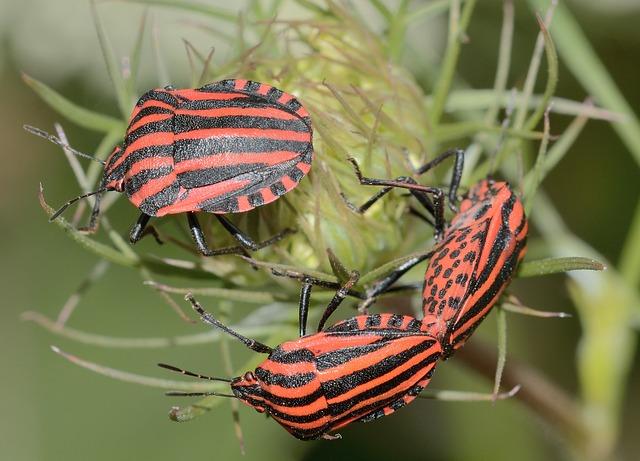 Hemiptera, Bug, Graphosoma, Italicum, Macro