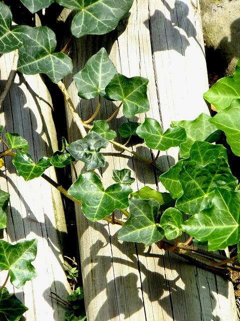 Ivy, Vedben, Plant, Creeper, Climbing Plant, Macro