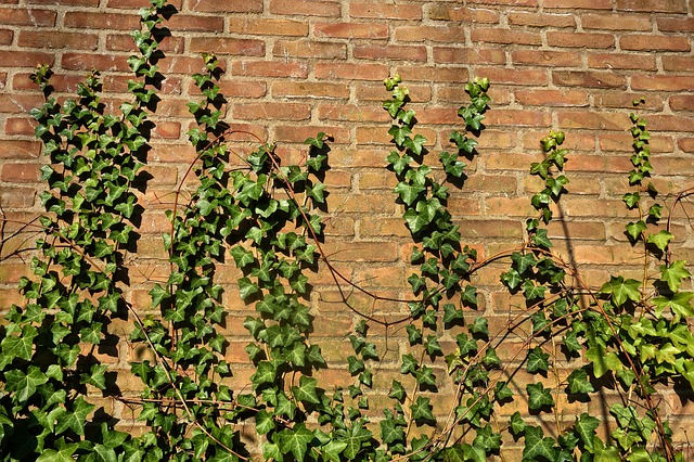 Brick Wall, Ivy, Creeper, Vine, Ivy Grown, Ivy Covered