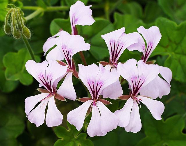 Exotic Blossoms, Ivy Geranium, Botanical Garden