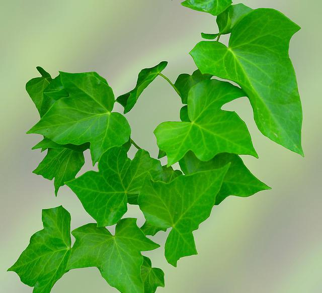 Ivy, Leaves, Green, Climber, Hedera Helix, Plant