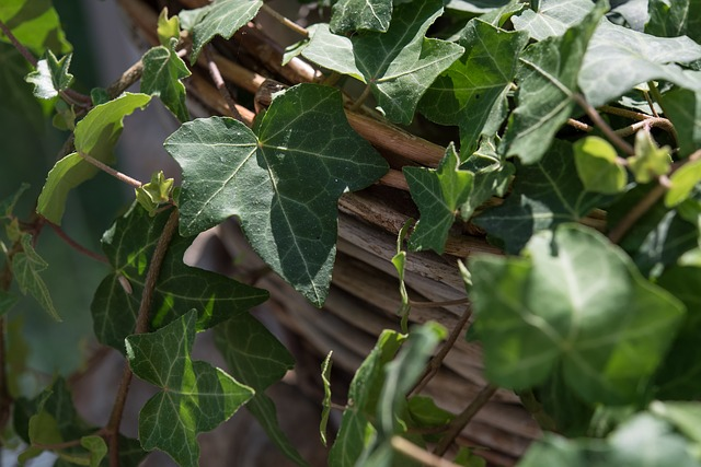 Ivy, Plant, Climber, Green, Leaves, Close, Ivy Leaf