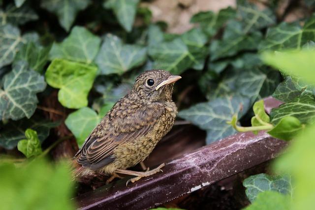 Nightingale, Nightingales, Ivy, Plant, Nightingale Grey
