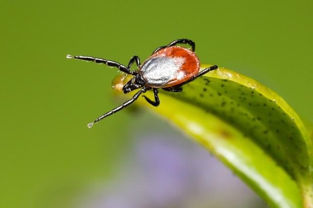 Ixodes Ricinus, Castor Bean Tick, Tick, Disease, Danger
