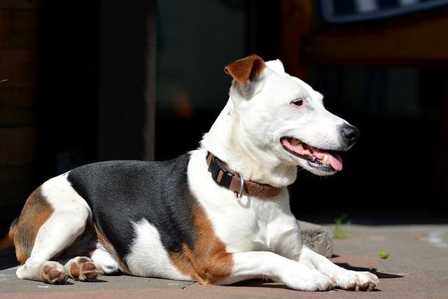 Purebred Dog, Dog, Jack Russell, Jack Russel