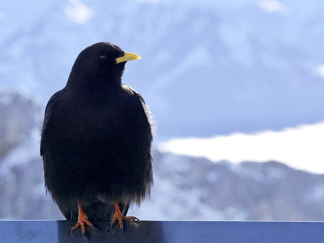Bird, Nature, Jackdaw, Bergdohle, Feather, Black
