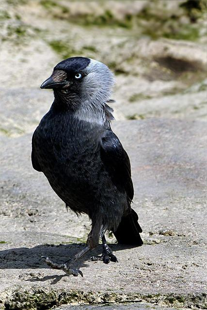 Animal, Bird, Jackdaw, Foraging, Stern Look