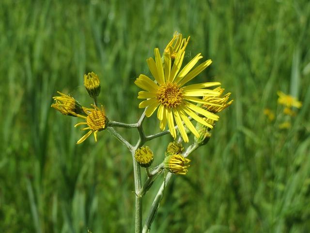 Jacobaea Paludosa, Senecio Paludosus, Wildflower, Flora