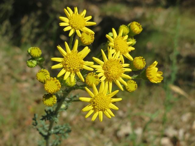 Jacobaea Vulgaris, Ragwort, Common Ragwort