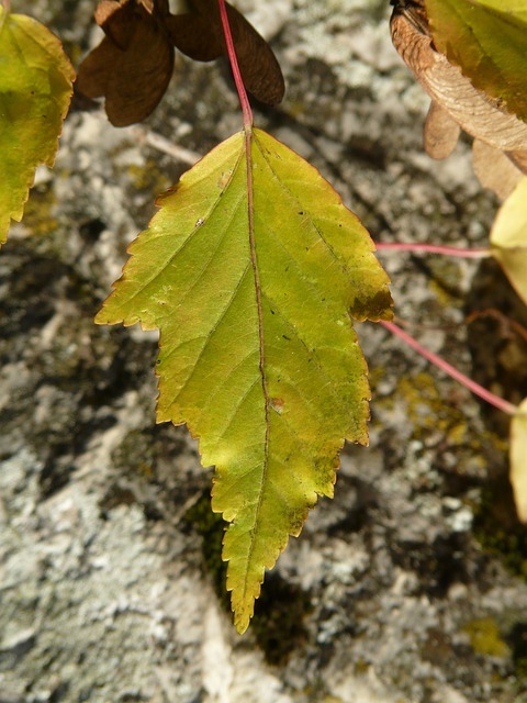 Fire Maple, Leaf, Smart, Jagged, Small Leaf