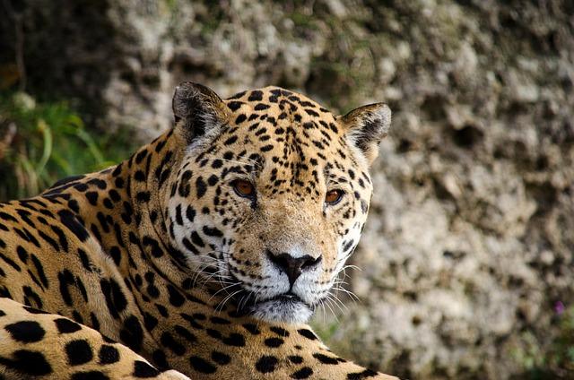 Jaguar, Panter, Big Cat, South America, Central America