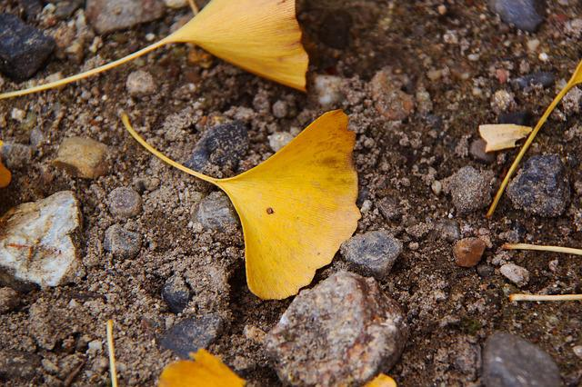 Ginkgo, Yellow, Autumn, Sand, Nara, Japan, Season