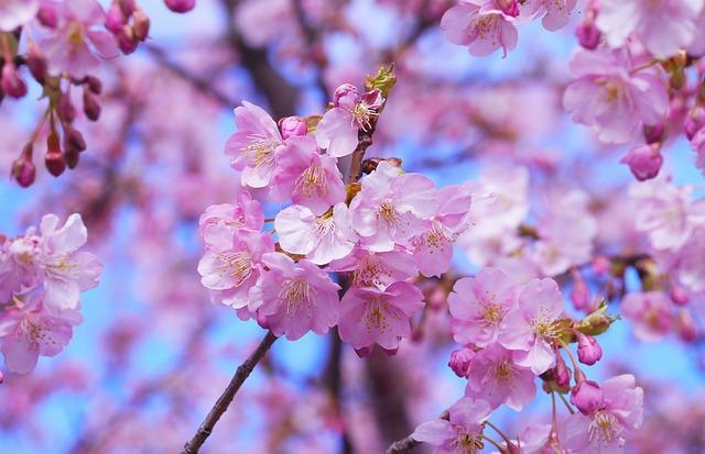 Cherry Blossom, Cherry Tree, Japan, Beautiful, Pink