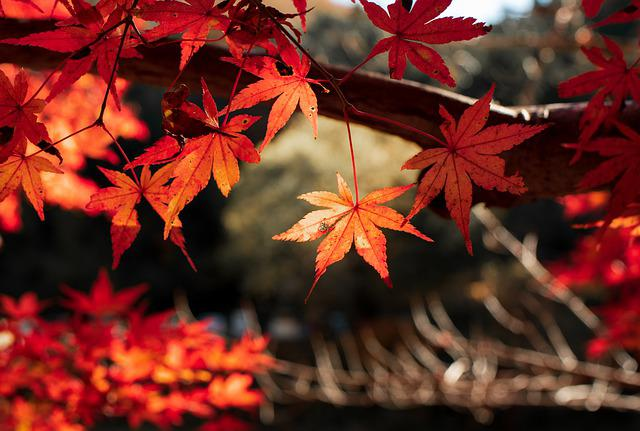 Leaf, Fall, Tree, Red, Autumn, Momiji, Japan