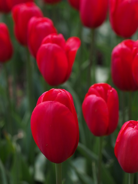 Tulip, Natural, Flowers, Spring, Japan, Red