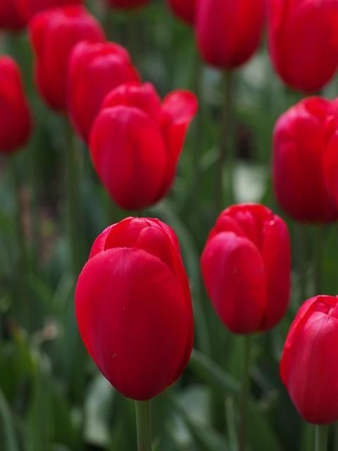 Tulip, Natural, Flowers, Spring, Japan, Red
