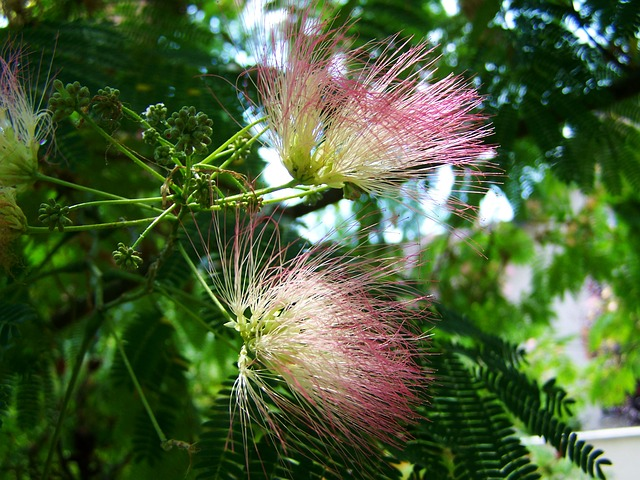 Japan Silk Acacia, Mimosa, Pink Flower