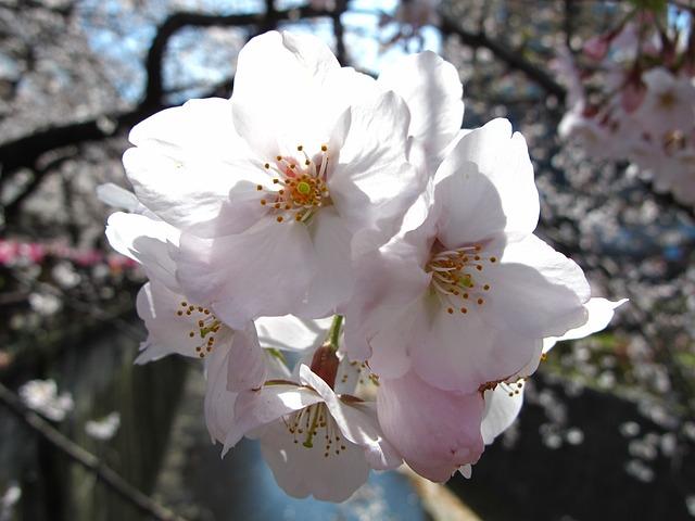 Japan, Tokyo, Sakura