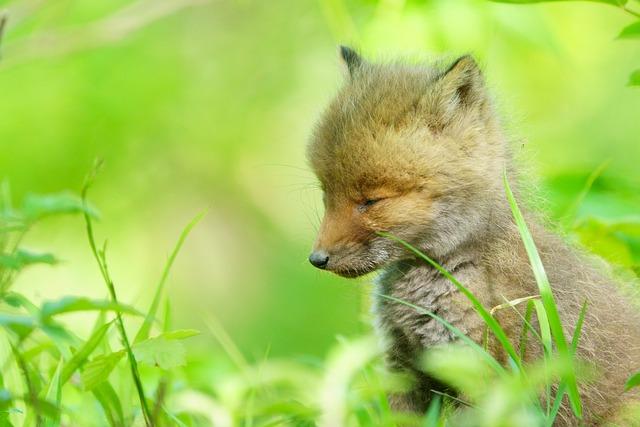 Child Fox, Fox, Child, Kawaii, Japanese, Cute, Animal