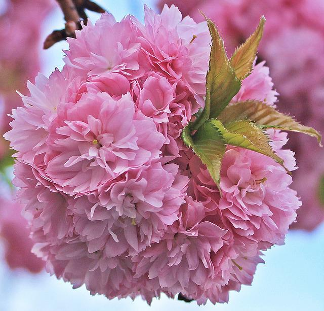 Japanese Cherry Blossom, Japanese Cherry Trees, Tree