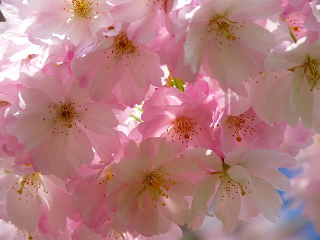 Japanese Cherry Trees, Blossom, Bloom, Cherry Blossom
