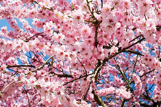 Japanese Cherry Trees, Flowers, Pink, White, Tree
