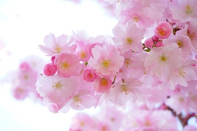 Japanese Cherry Trees, Flowers, Spring, Wallpaper