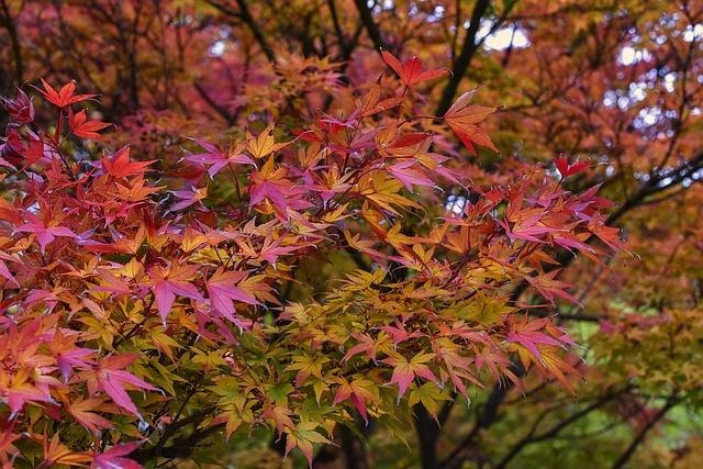 Japanese Maple, Maple, Acer Palmatum, Leaves, Leaf
