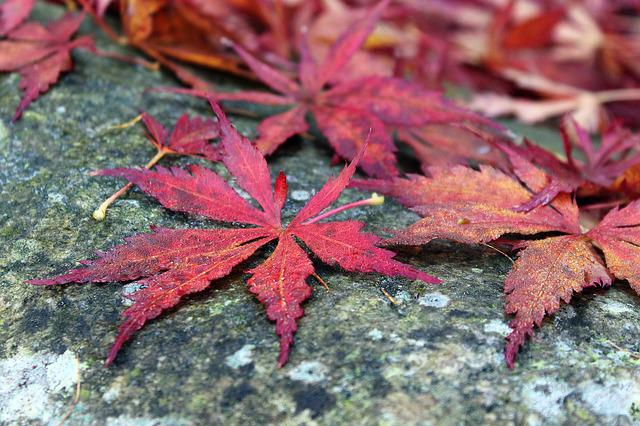 Japanese Maple, Clone Palm, Red Leaves, Autumn, Nature