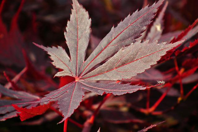 Leaf, Japanese Maple, Spring, Nature, Tree