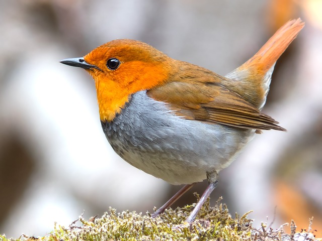 Robin, Bird, Japanese Robin, Wildlife, Animal, Nature