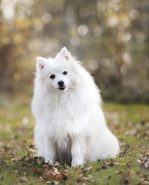 Dog, Puppy, Canine, Friend, Japanese Striker, Purebreed
