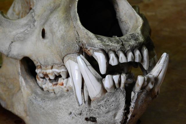 Bear, Ursus, Skull, Bones, Teeth, Jaw