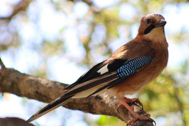 Bird, Jay, Corsican