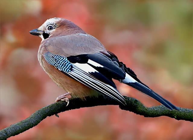 Bird, Jay, Garrulus Glandarius, Garden Ast, Foraging