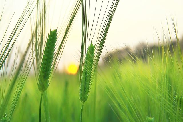 Barley Field, Jeju Island, As Yeonbuk, Sunrise, Fog