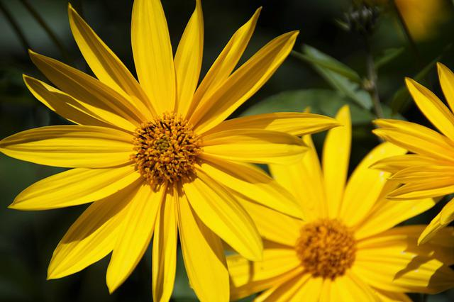Jerusalem Artichoke, Flower, Bright, Yellow, Small