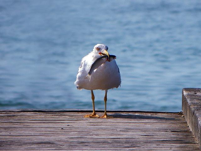 Seagull, Birds, Bird, Animals, Sea, Seagulls, Jetty
