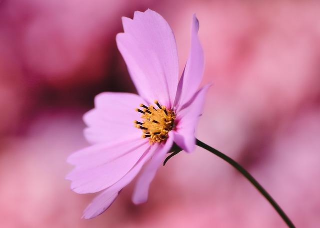 Cosmea, Jewelry Basket, Flower, Cosmos Flower