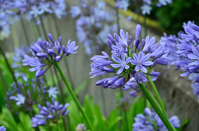 Agapanthus, Lily, Blue Lily, Jewelry Lilies Greenhouse
