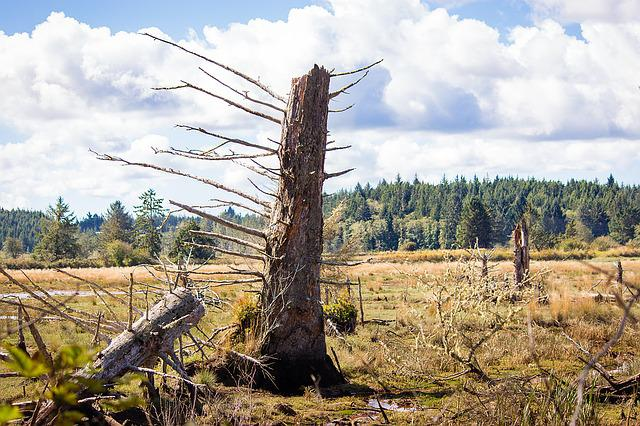 Dead Tree, Johns River, Washington