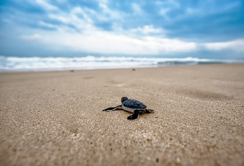 Turtle, Mydas Children, Journey, Coast