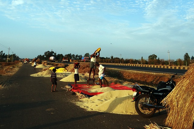 Sorghum, Hand Winnowing, Jowar, Karnataka, India