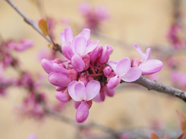Judas Tree, Flowers, Bloom, Pink, Ordinary Judas Tree